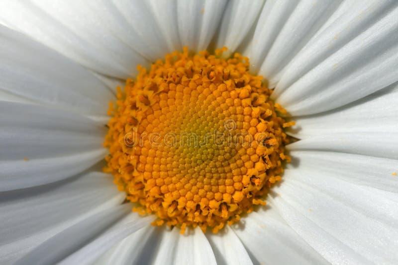 一朵大延命菊花的中心的细节 免版税库存照片