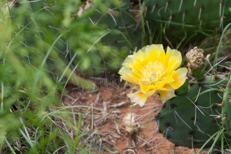 一朵孤立黄色仙人掌花 免版税库存照片