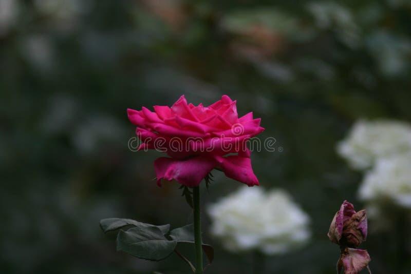 一朵小桃红色玫瑰 免版税库存照片