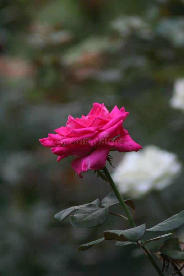 一朵小桃红色玫瑰 免版税库存图片