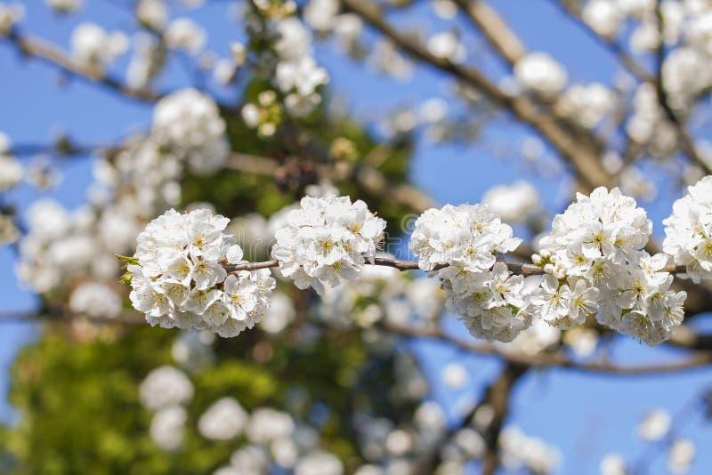 一朵开花的樱桃树花的接近的照片 免版税图库摄影