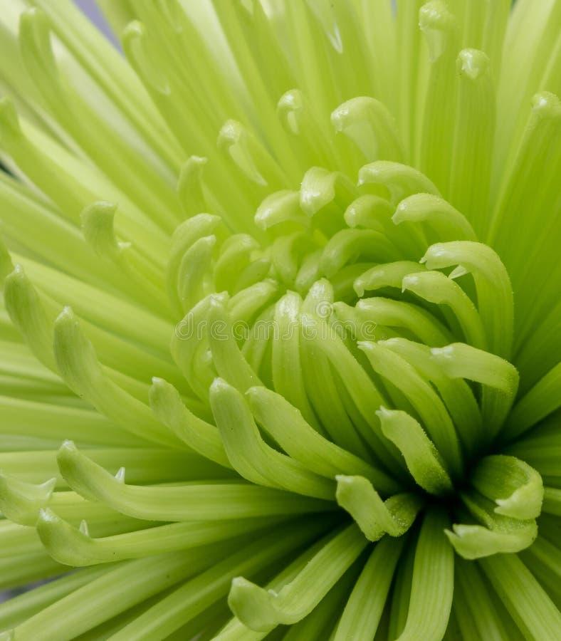 一朵开花的绿色菊花的宏观图象 免版税库存照片