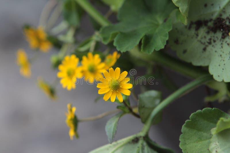 一朵微小的黄色野花 库存照片