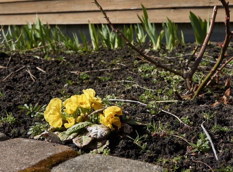 一朵明亮的黄色花在一个清楚的春天早晨 库存照片