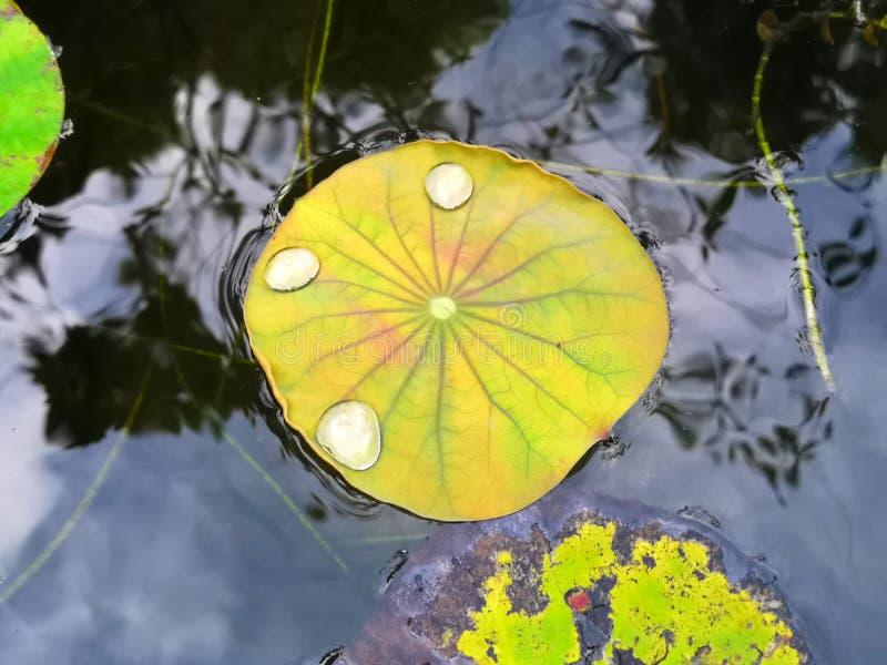 一朵明亮的黄色莲花的惊人的静脉在阵雨以后生叶,当水滴徘徊在上面 免版税库存图片