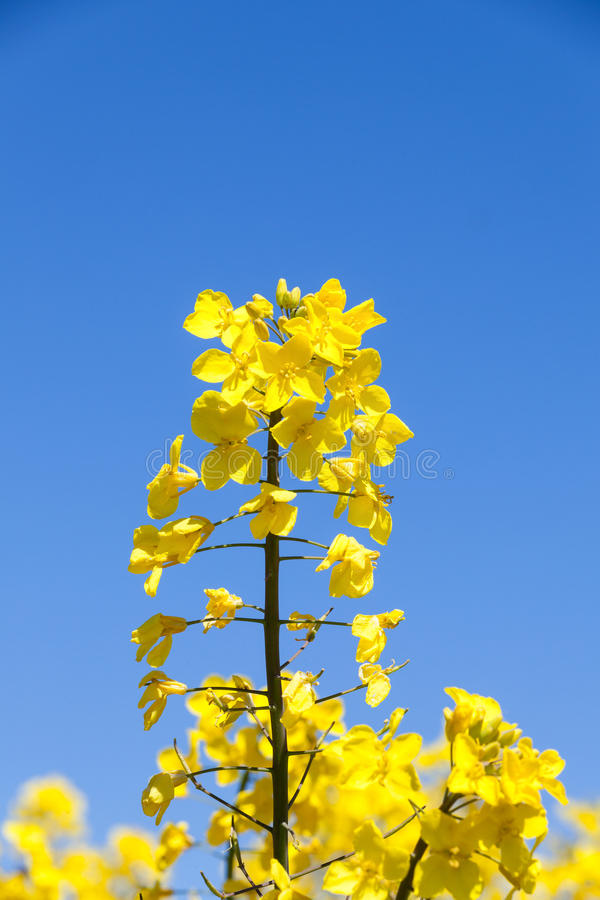 一朵明亮的黄色油菜籽花的细节,芸苔napus agains 库存图片