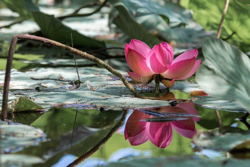 一朵显著地美丽的莲花 库存照片