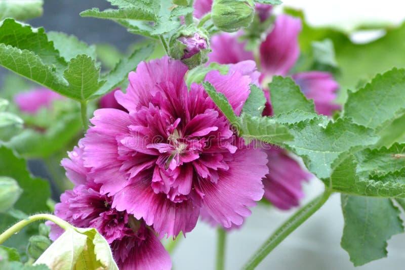 一朵桃红色共同的蜀葵花的特写镜头照片 免版税库存照片
