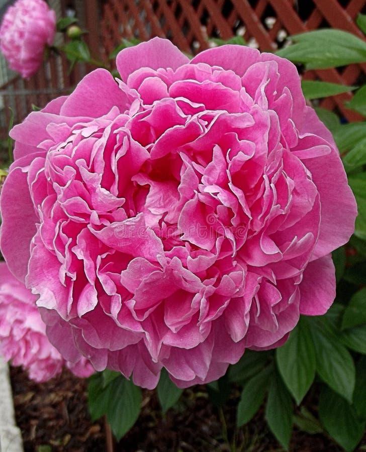一朵桃红色春天花在前院在春日 图库摄影