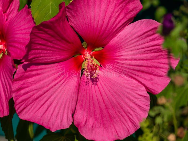 一朵桃红色木槿花的特写镜头图象 库存图片