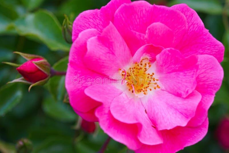 一朵桃红色玫瑰的宏观射击与黄色花粉的 免版税库存照片