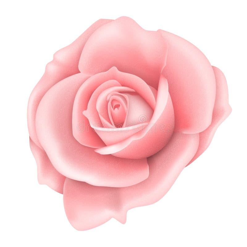 一朵桃红色玫瑰色花的传染媒介现实图象 皇族释放例证