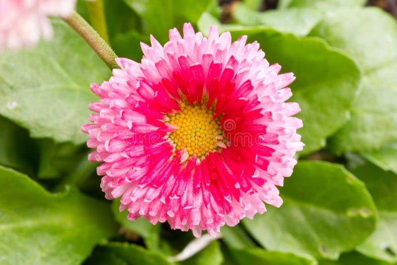 一朵桃红色花的特写镜头照片 免版税库存图片