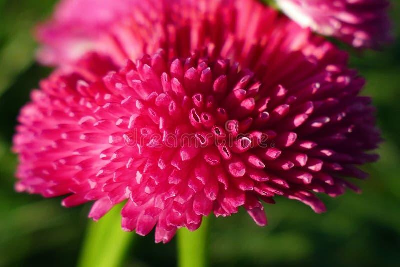 一朵桃红色花的筒形瓣的放大象大型机关炮的,雏菊-选择聚焦 图库摄影
