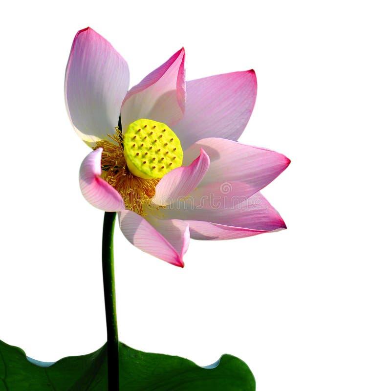 一朵桃红色莲花, 免版税库存图片