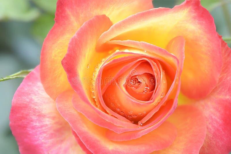 一朵桃红色黄色玫瑰 免版税库存照片