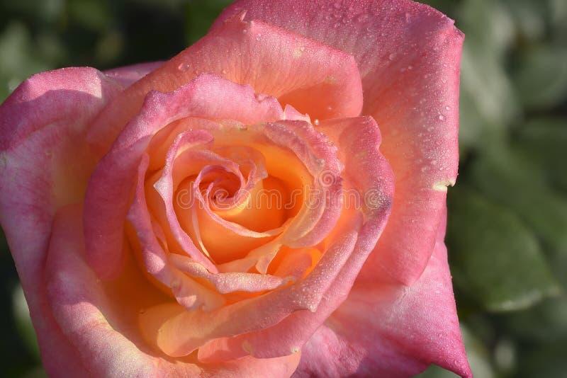 一朵桃红色黄色玫瑰 图库摄影