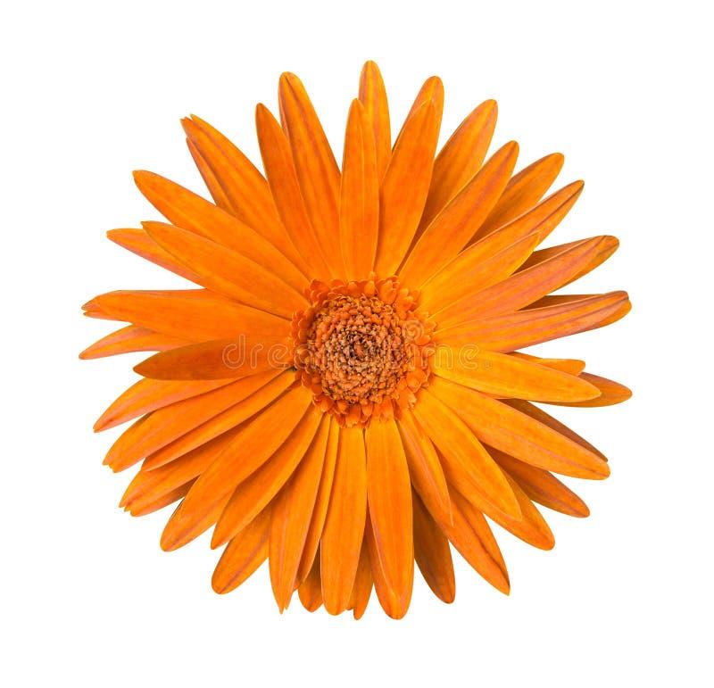 一朵橙色菊花花被隔绝在白色 免版税图库摄影