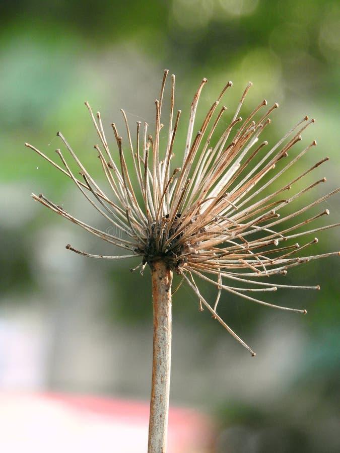 一朵死的花在秋天 库存图片