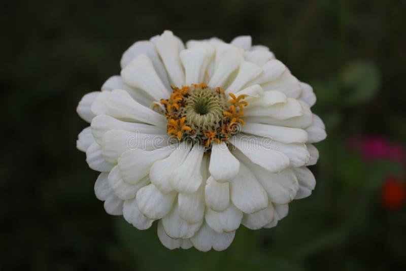 一朵没有权利的花的白色开花 免版税库存图片