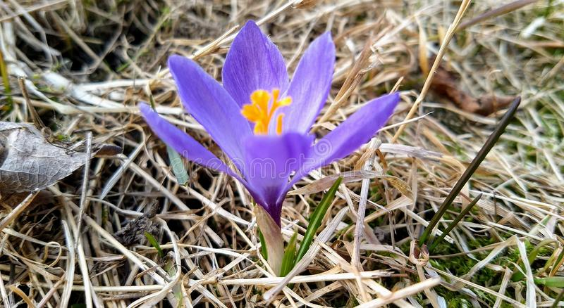 一朵淡紫色番红花在春天 免版税库存图片