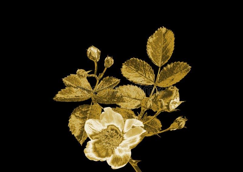 一朵玫瑰的美丽的花从金子的 库存照片