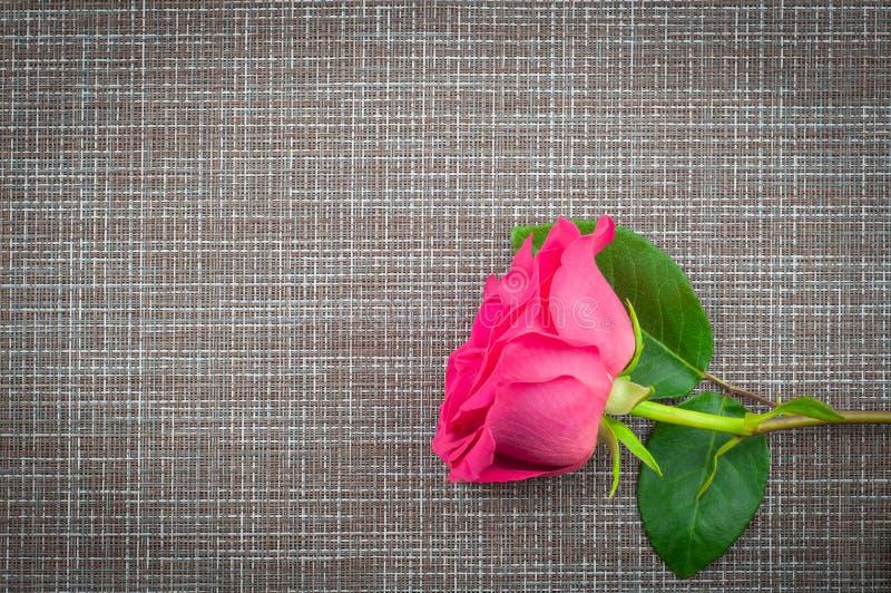 一朵玫瑰说谎在一个灰色背景特写镜头的,顶视图 库存照片
