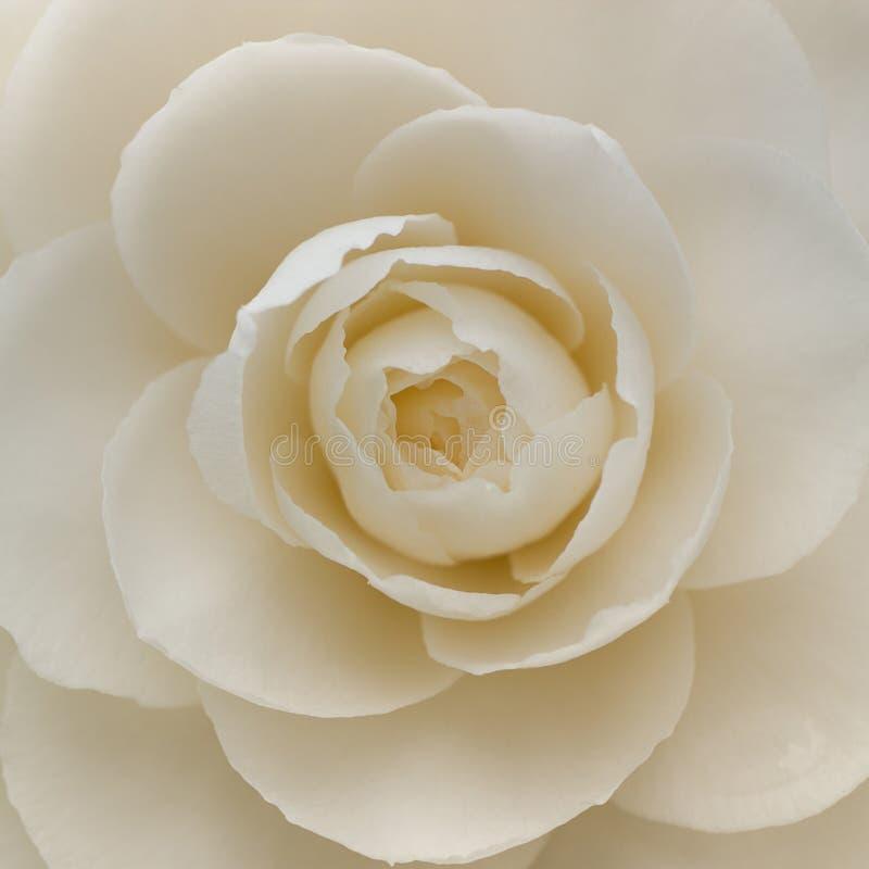 一朵白色山茶花花的特写镜头 免版税库存图片