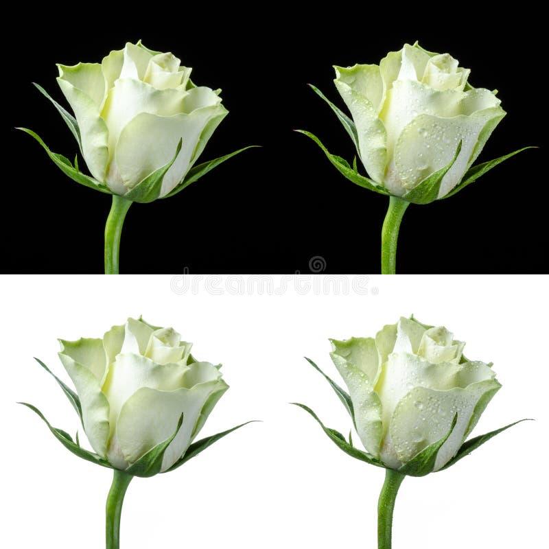 一朵白色玫瑰的拼贴画 库存图片