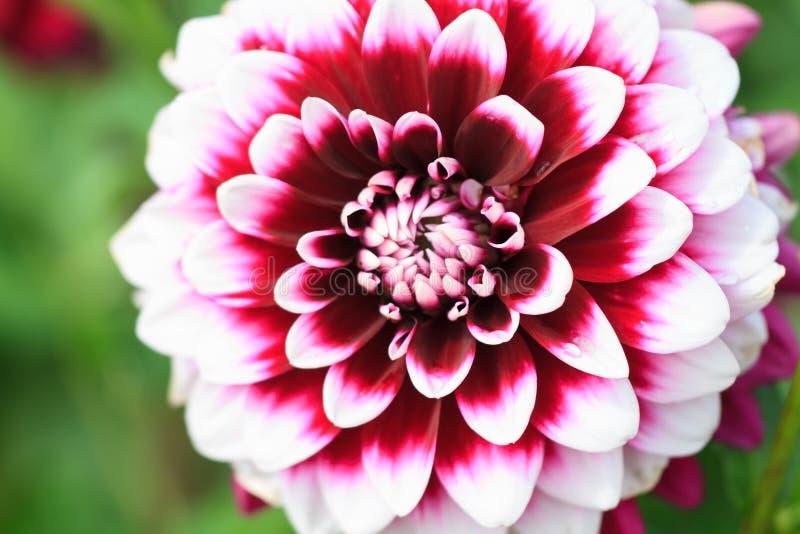一朵白色红色大丽花的宏指令 图库摄影