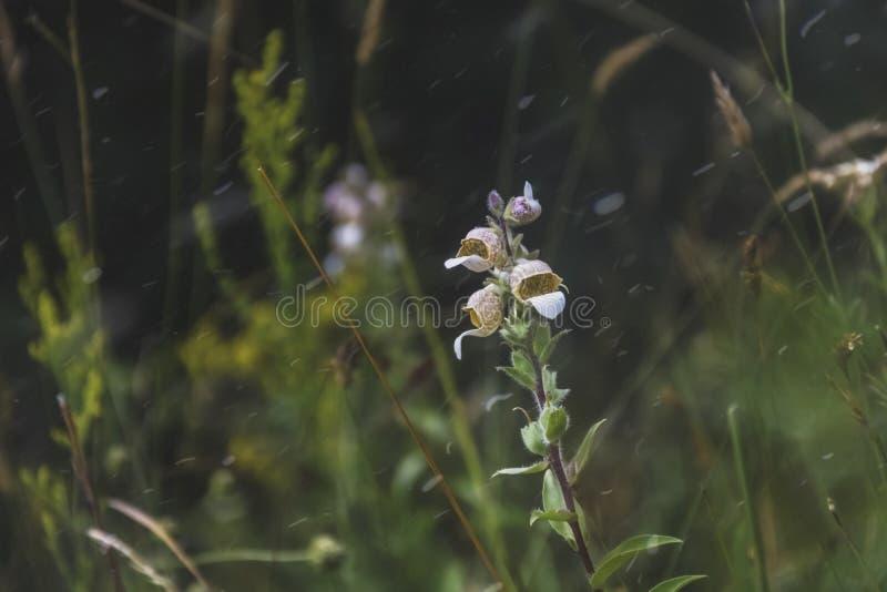 一朵白色野花的花卉词根,在模糊的背景 库存照片