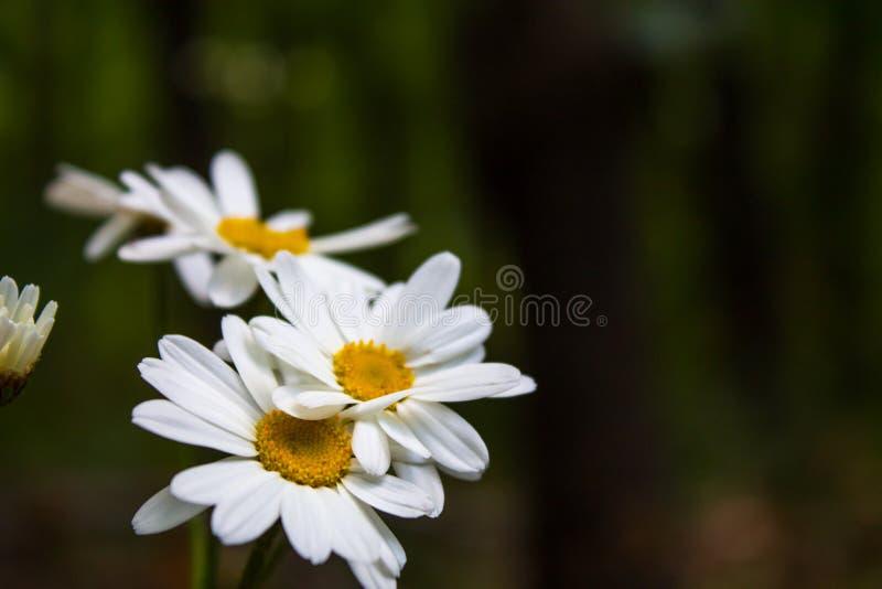 一朵白色野花 库存图片