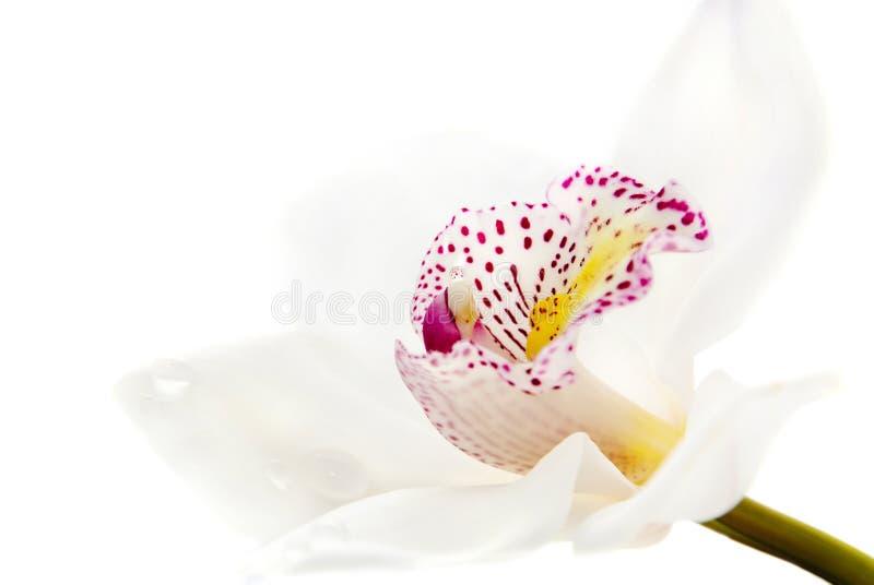 一朵空白兰花   库存图片
