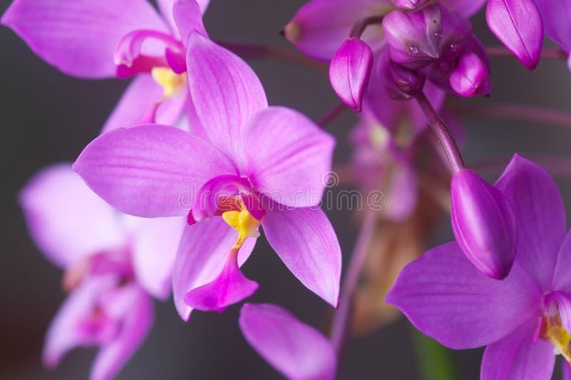 一朵紫色地面兰花的宏指令 库存照片