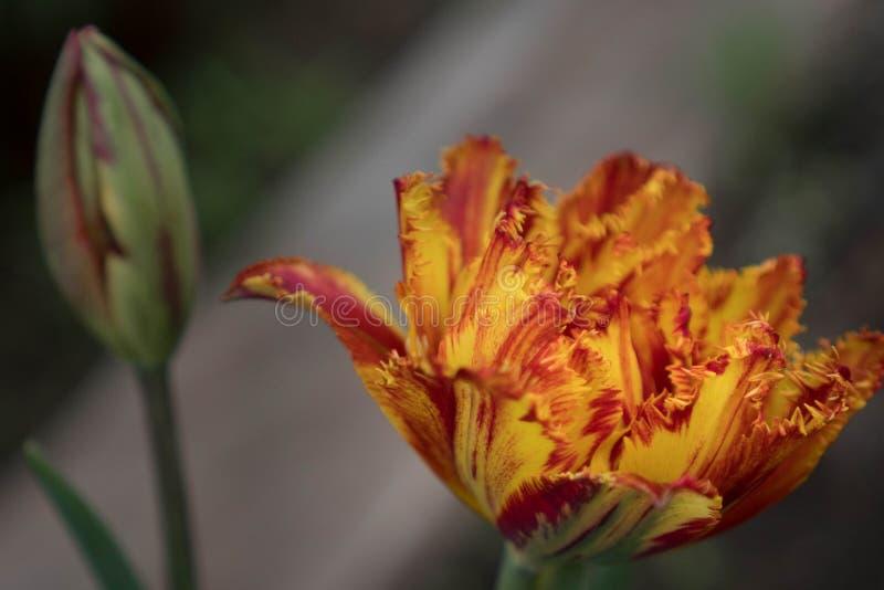 一朵红橙色特里郁金香花在以红色郁金香的芽的为背景庭院里 a郁金香的有效的花  库存照片