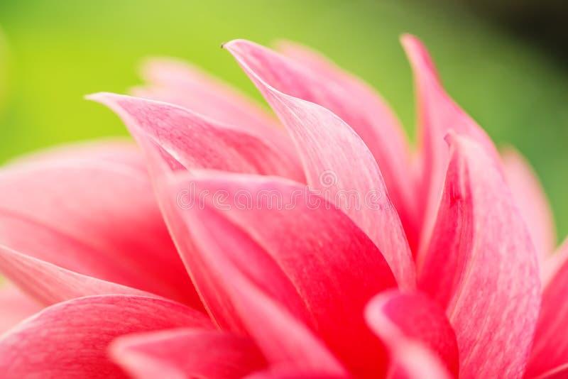 一朵红色大丽花花的宏观图象在新鲜的开花,红色瓣大丽花的在庭院里 图库摄影