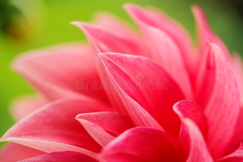 一朵红色大丽花花的宏观图象在新鲜的开花,红色瓣大丽花的在庭院里 免版税库存照片