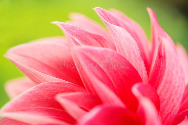 一朵红色大丽花花的宏观图象在新鲜的开花,红色瓣大丽花的在庭院里 免版税库存图片
