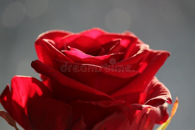 一朵红色玫瑰的上面 库存图片