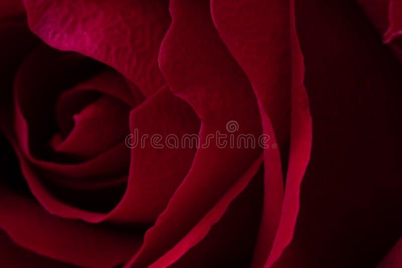 一朵红色玫瑰的宏观射击的关闭 库存图片