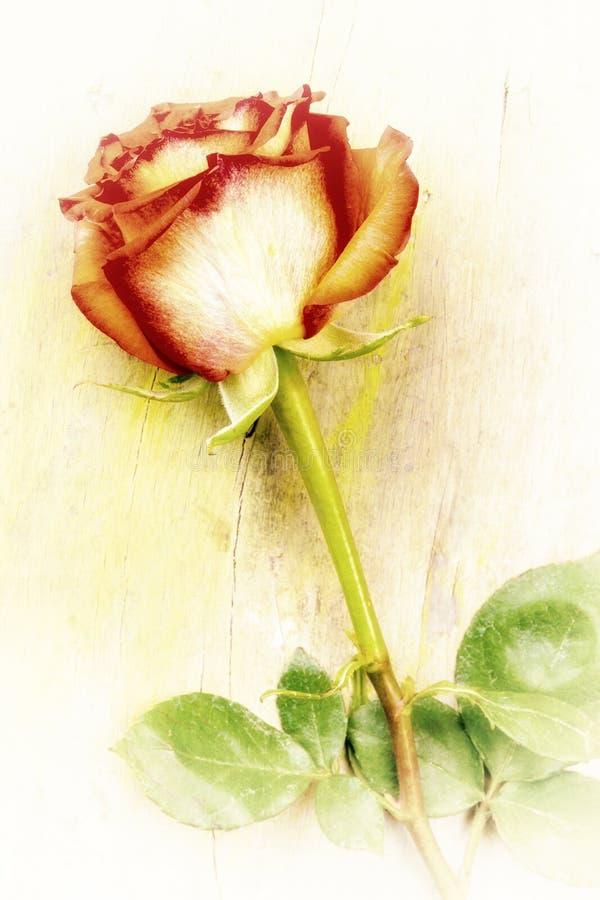 一朵红色玫瑰的葡萄酒成为不饱和的图象 库存照片