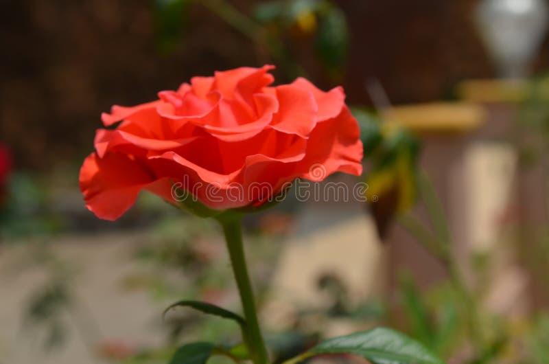一朵红色玫瑰 免版税库存图片