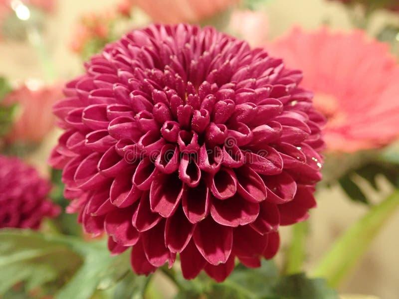 一朵红色花的宏观射击 库存照片