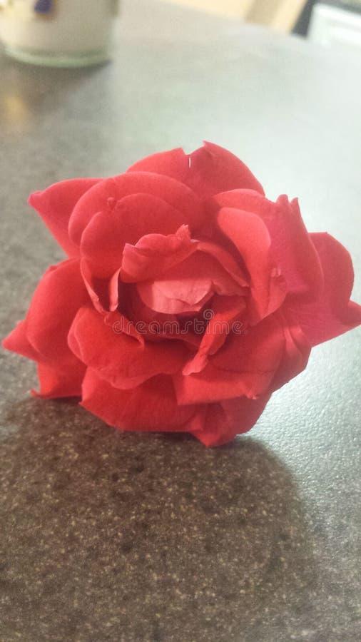 一朵红色花 库存照片