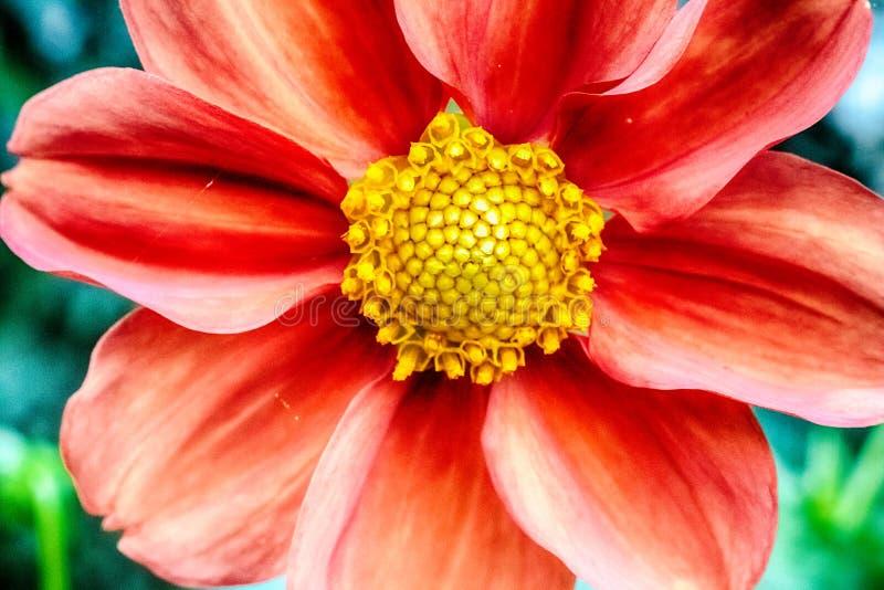一朵红色菊花花的宏观照片 免版税库存图片