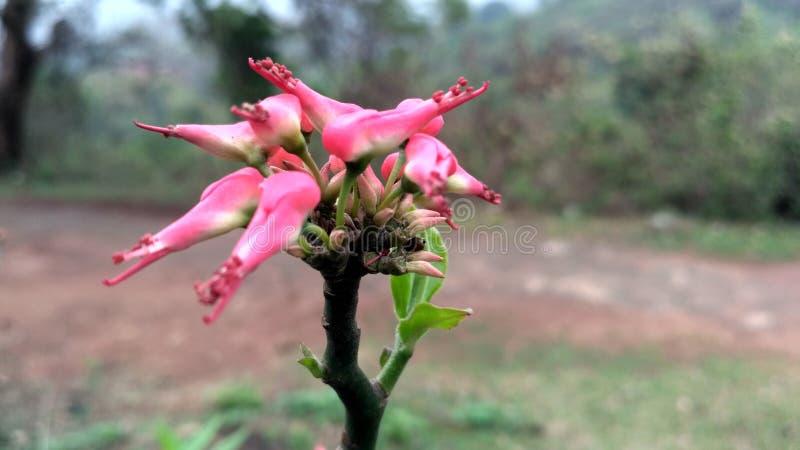 一朵美丽的未看见的红色花 库存图片
