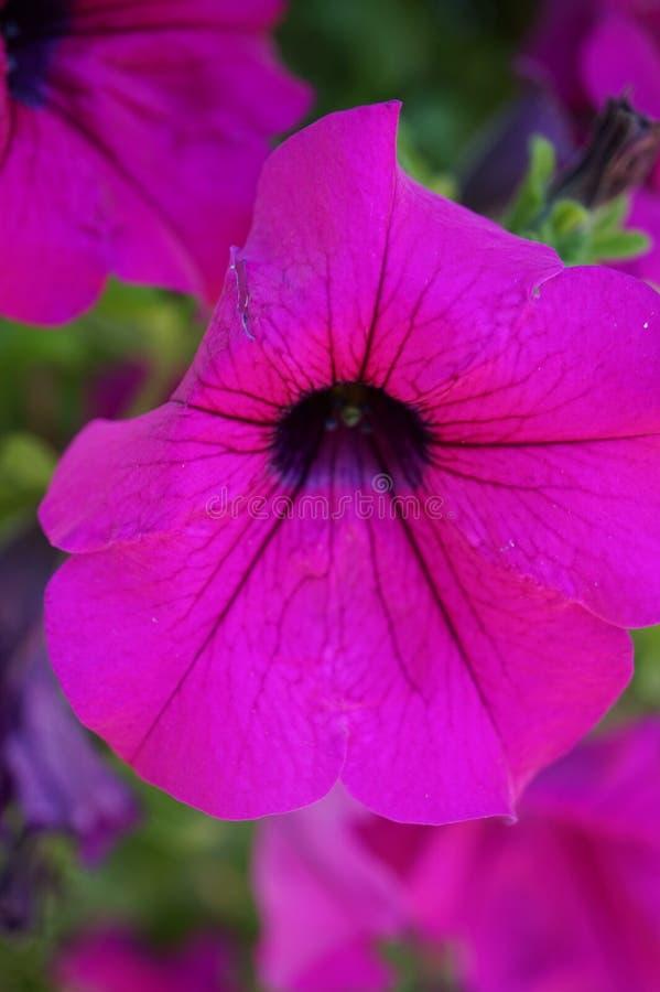 一朵美丽的桃红色喇叭花的宏观射击 免版税库存照片
