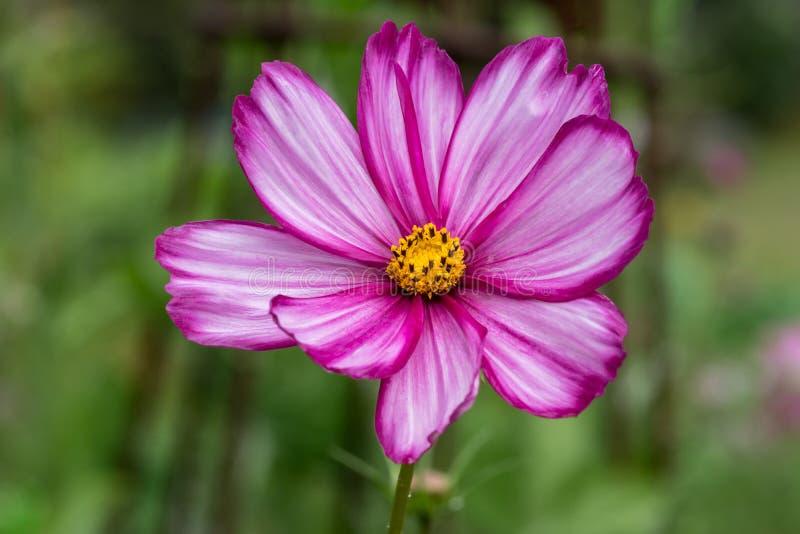 一朵美丽的桃红色奏鸣曲花的特写镜头与黄色中心的,但是 库存图片