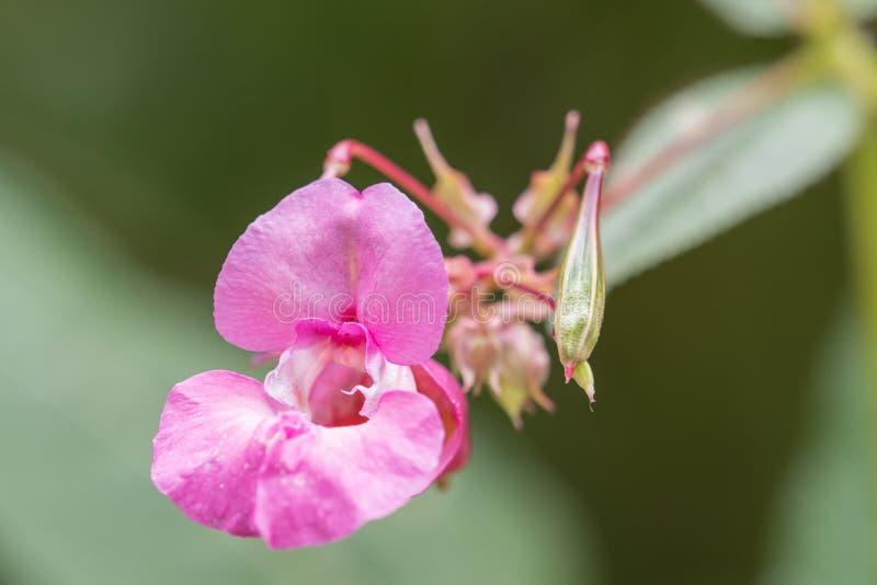 一朵美丽的桃红色野花的特写镜头在绿色背景的 免版税库存图片