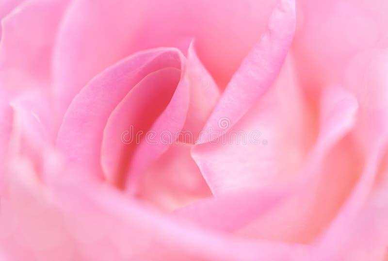 一朵美丽的淡粉红的英国玫瑰的特写镜头 爱和浪漫史的标志 免版税库存图片